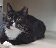 Dee Dee is a tuxedo cat looking for a new place to call home