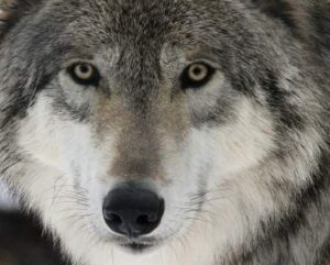 Marianne Leone photo of a wolf