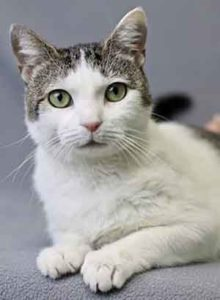 April Showers is a three-year-old domestic short hair