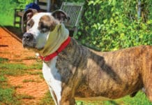 Bricks is an incredibly handsome Pit Bull Terrier/Shar Pei mix