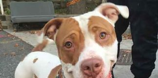Obie is available for adoption in Bloomfield, NJ shelter