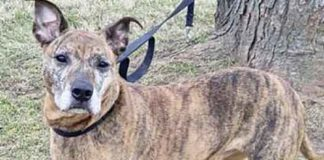 Tiger Chewy is a beautiful Plott Hound mix