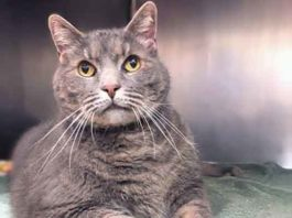 Rocky the cat is available at the Burlington County Animal Shelter